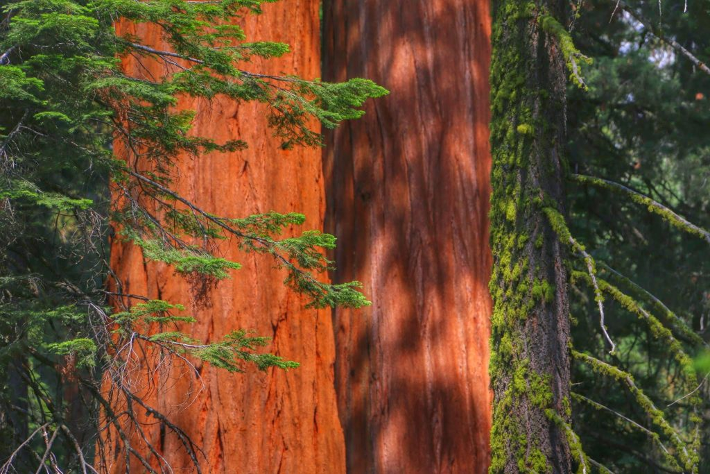 Grote Sequoia's in Amerika