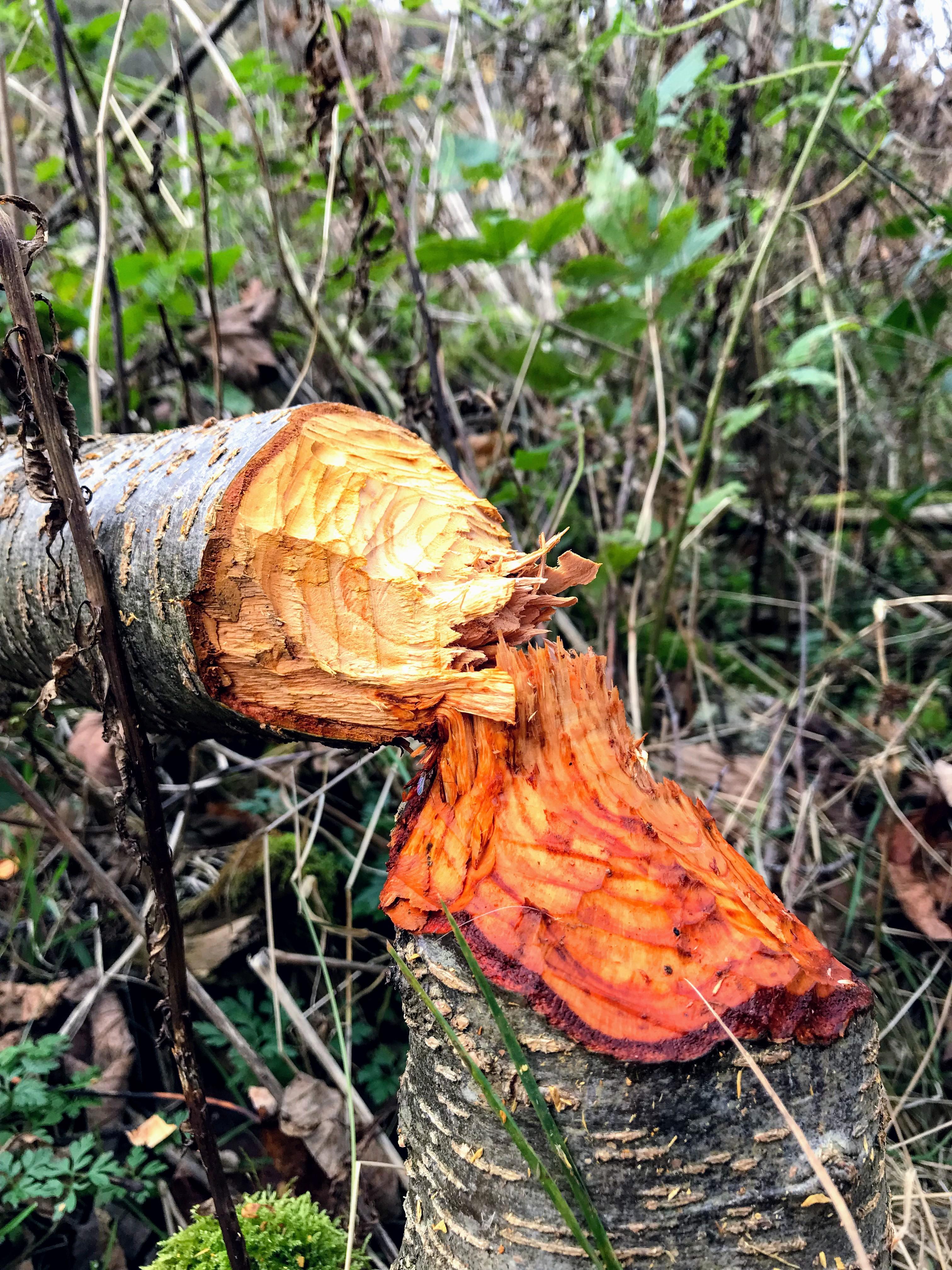 Afgeknaagde boom door bevers