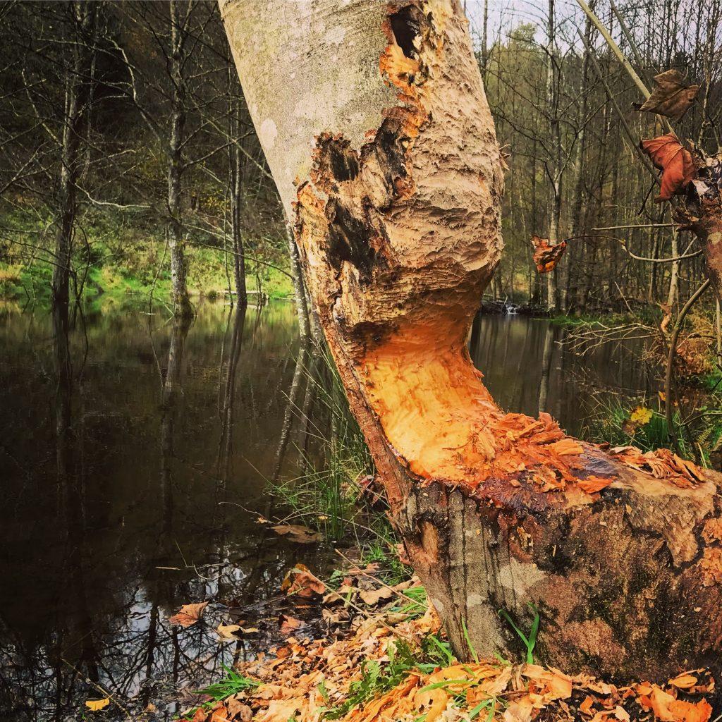 Bevers knagen aan boom