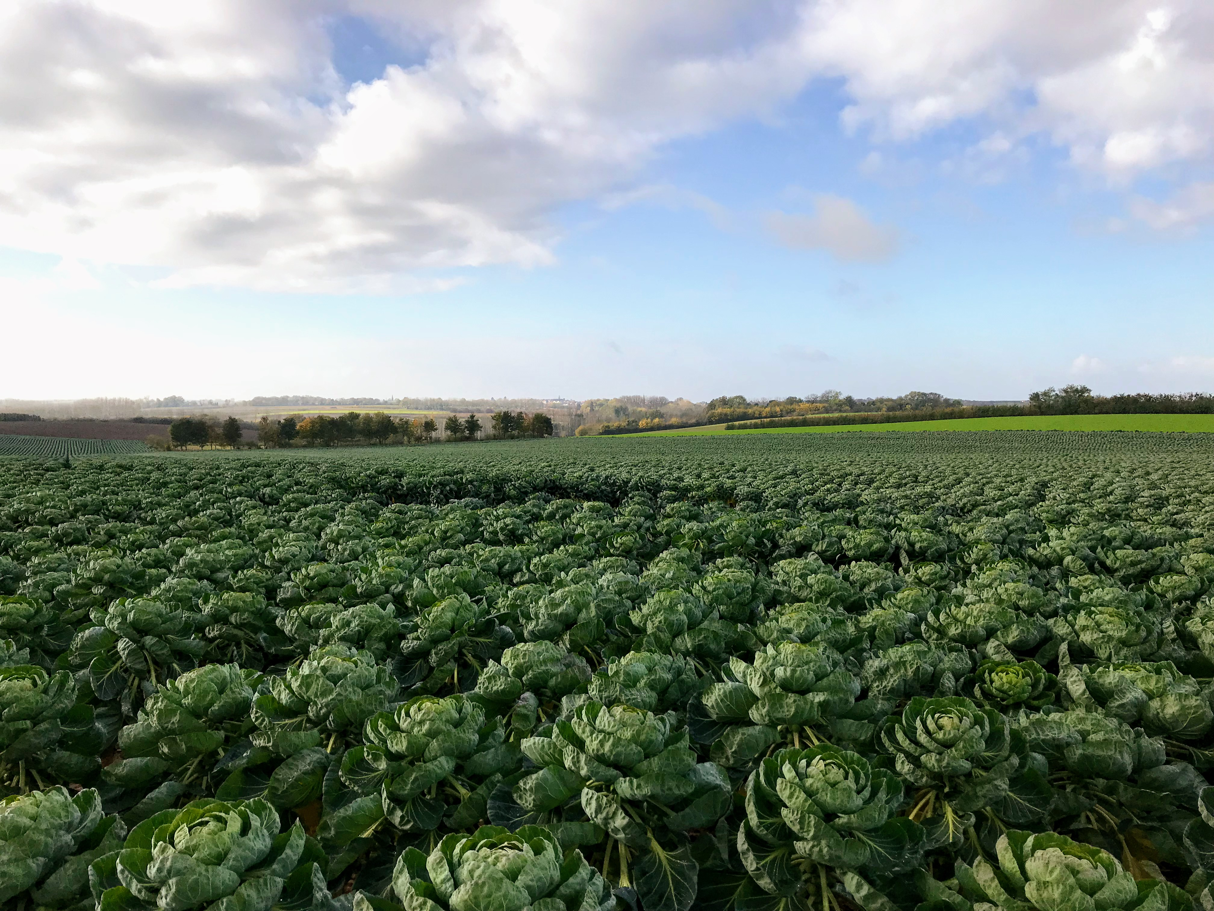 Een veld vol met spruiten in Mettekoven, Limburg