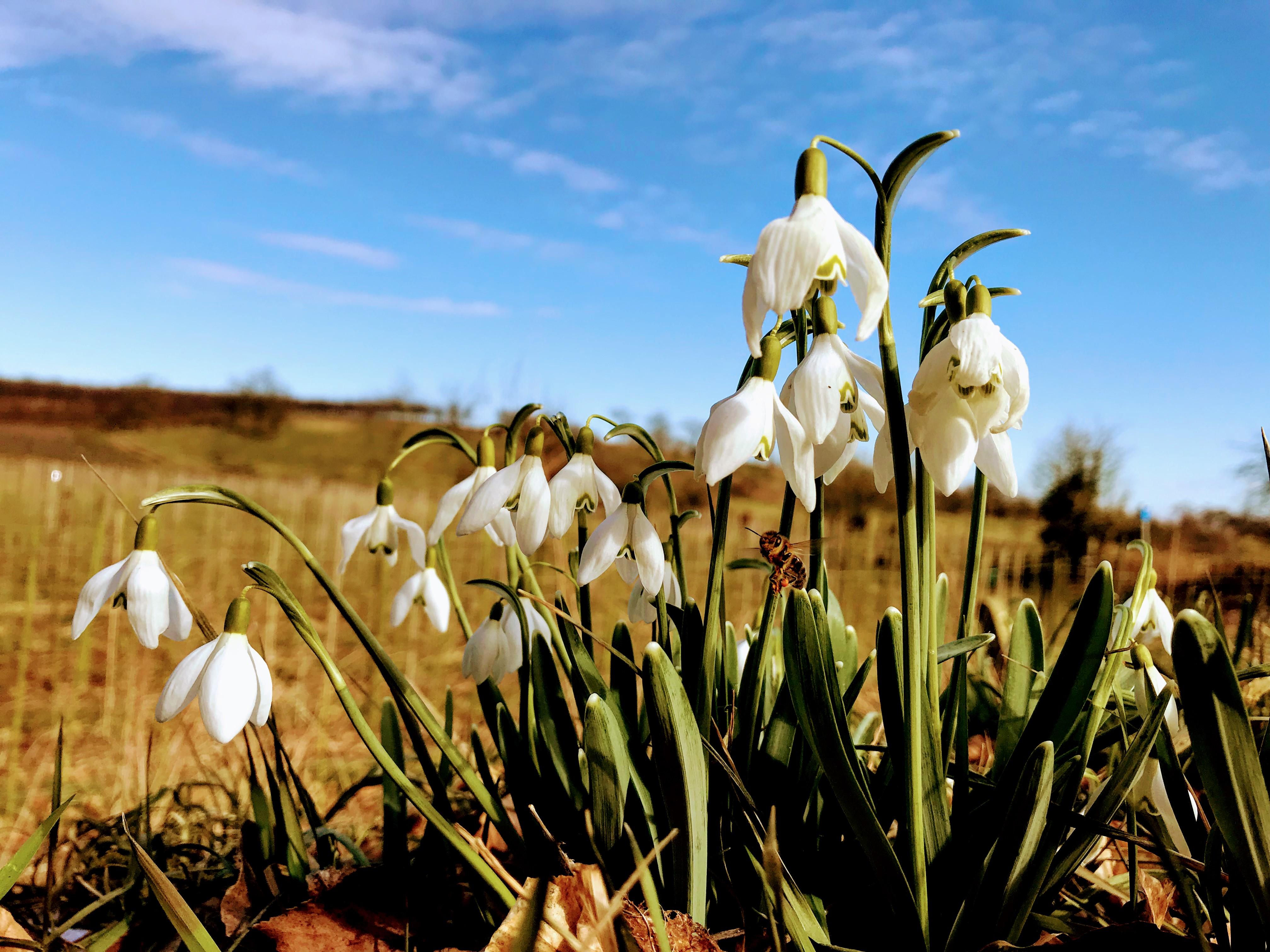Sneeuwklokjes kondigen de lente aan