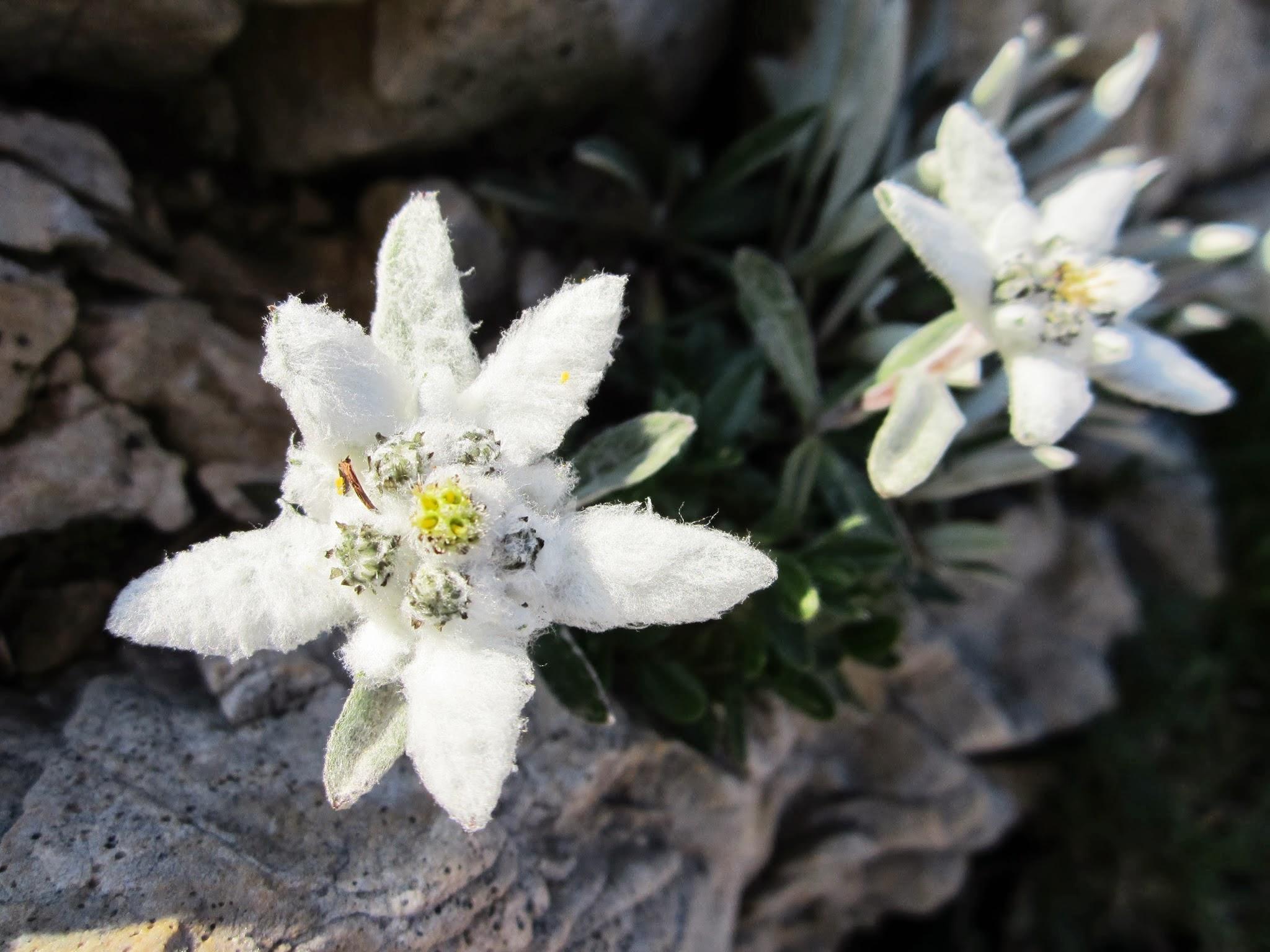 Edelweiss op de Monte Baldo aan het Gardameer