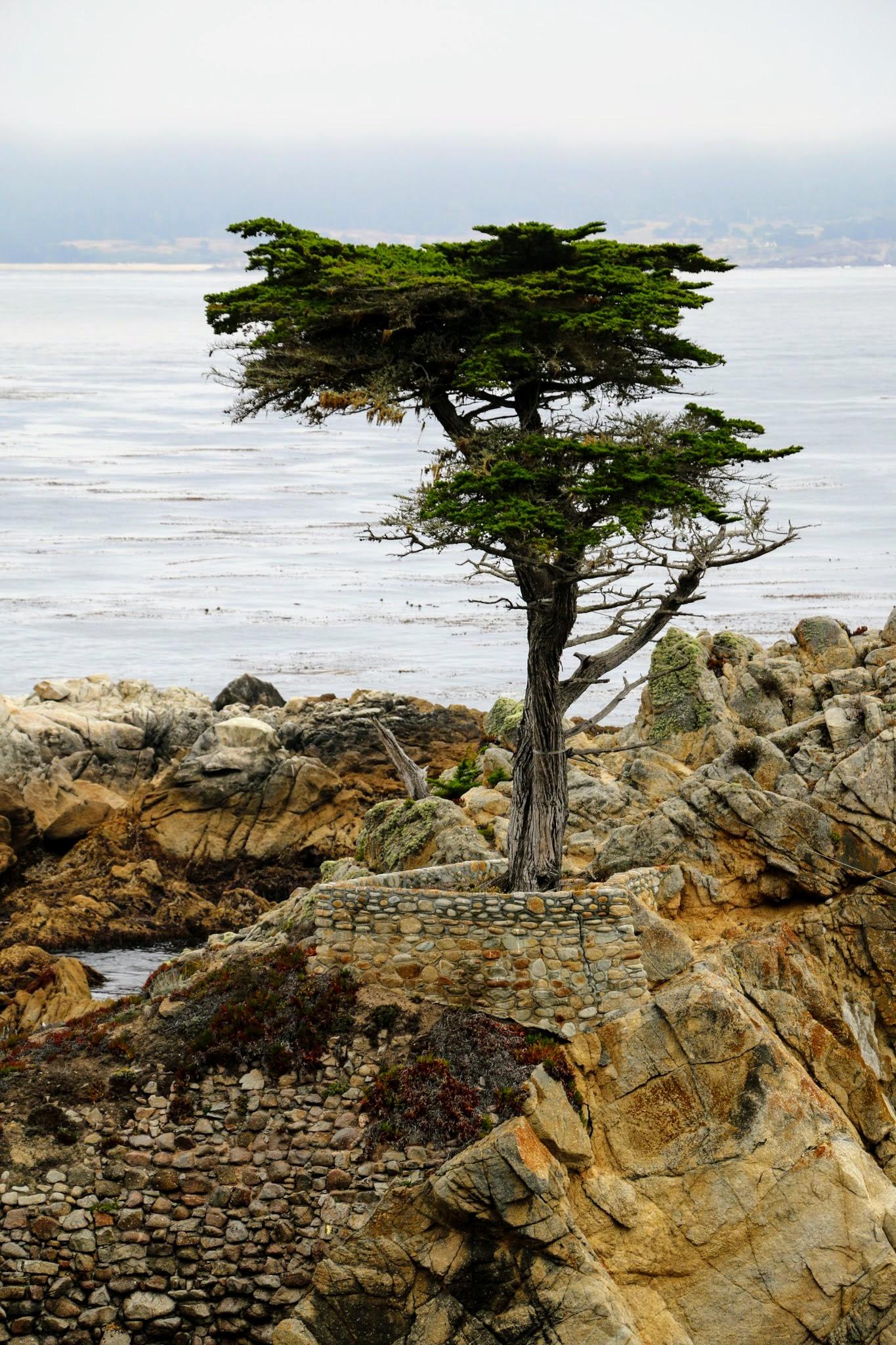 Alleenstaande cypres in Monterey westkust Amerika