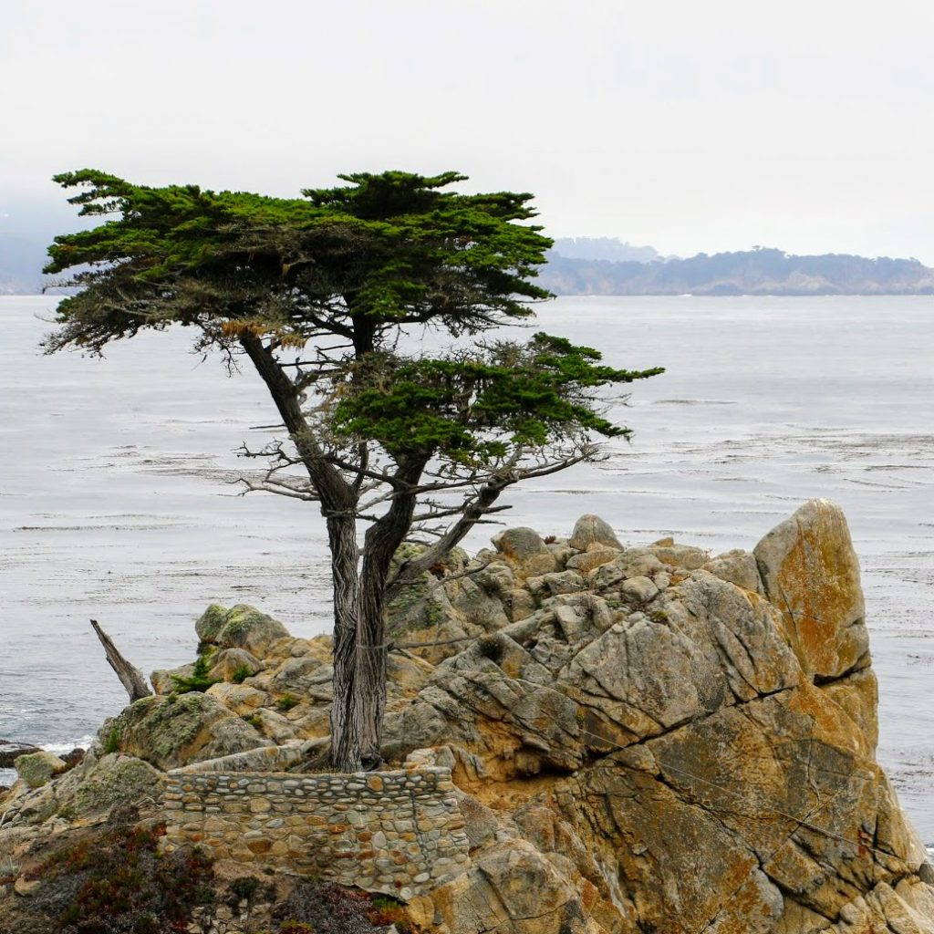 The Lone Cypress bij Pebble Beach in Monterey