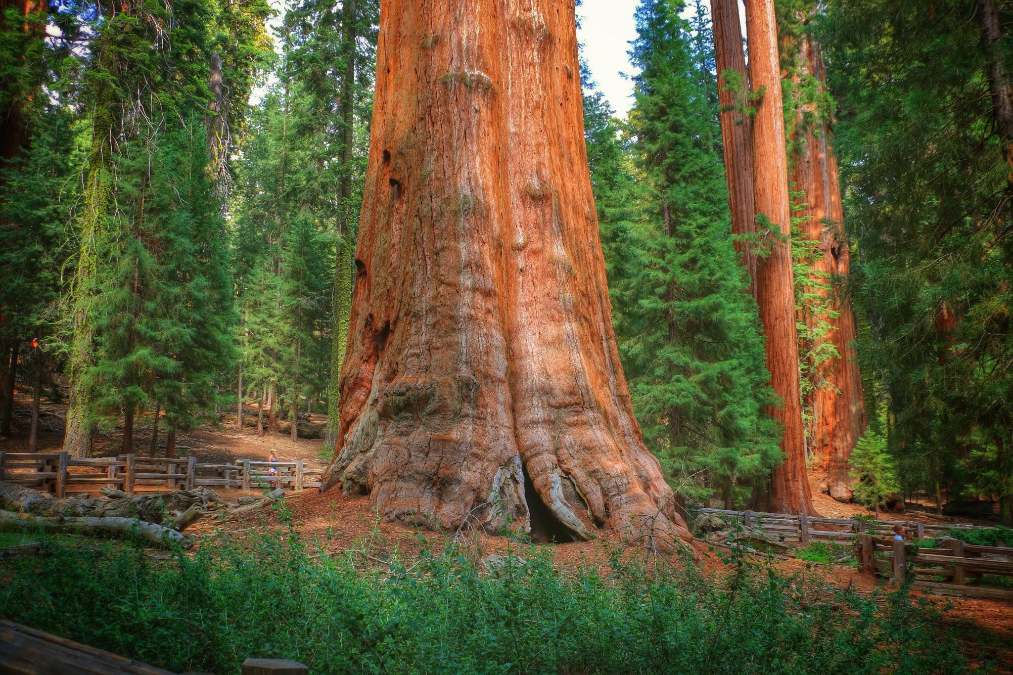 De grootste boom van de wereld