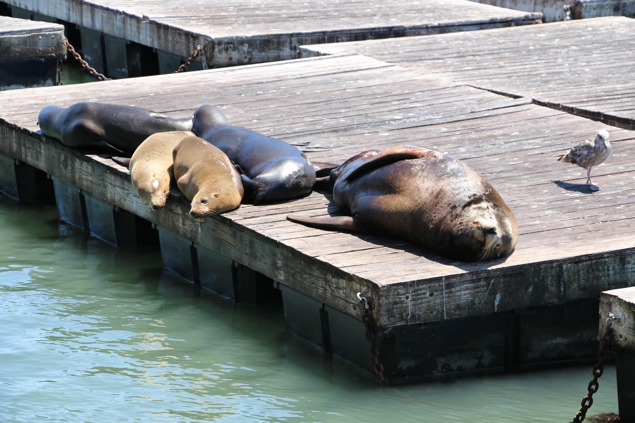 zeeleeuwen die op pontons bij Pier 39 ligge