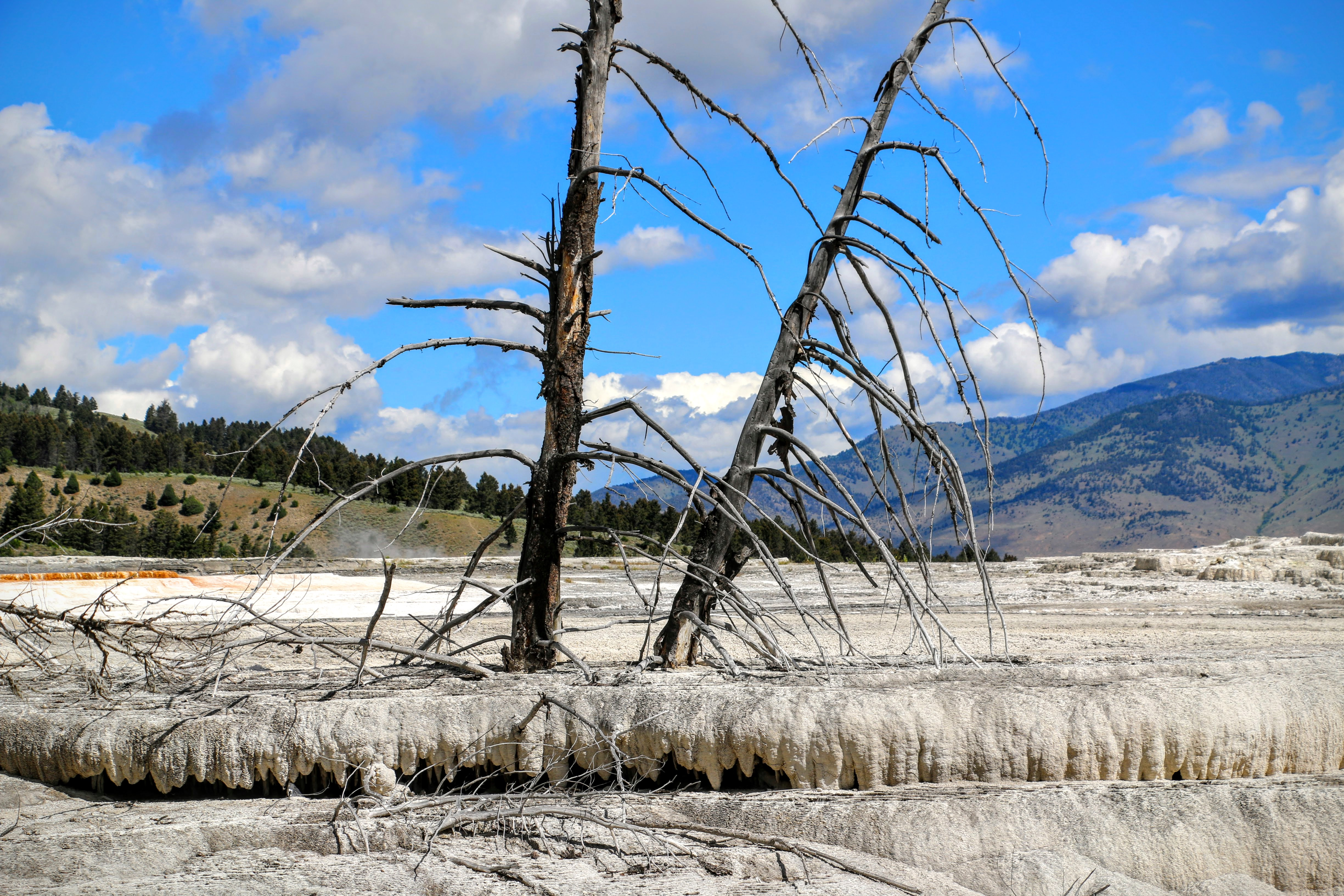 Dode bomen Mammoth Hot Springs