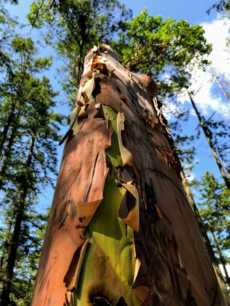Een boom met speciale schors