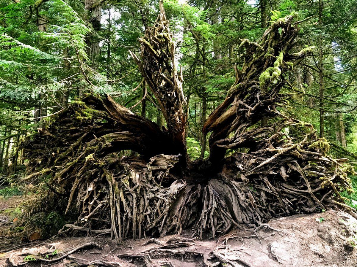 Wortels van een grote boom in Canada