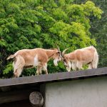 Goats on Roof Old Country Market