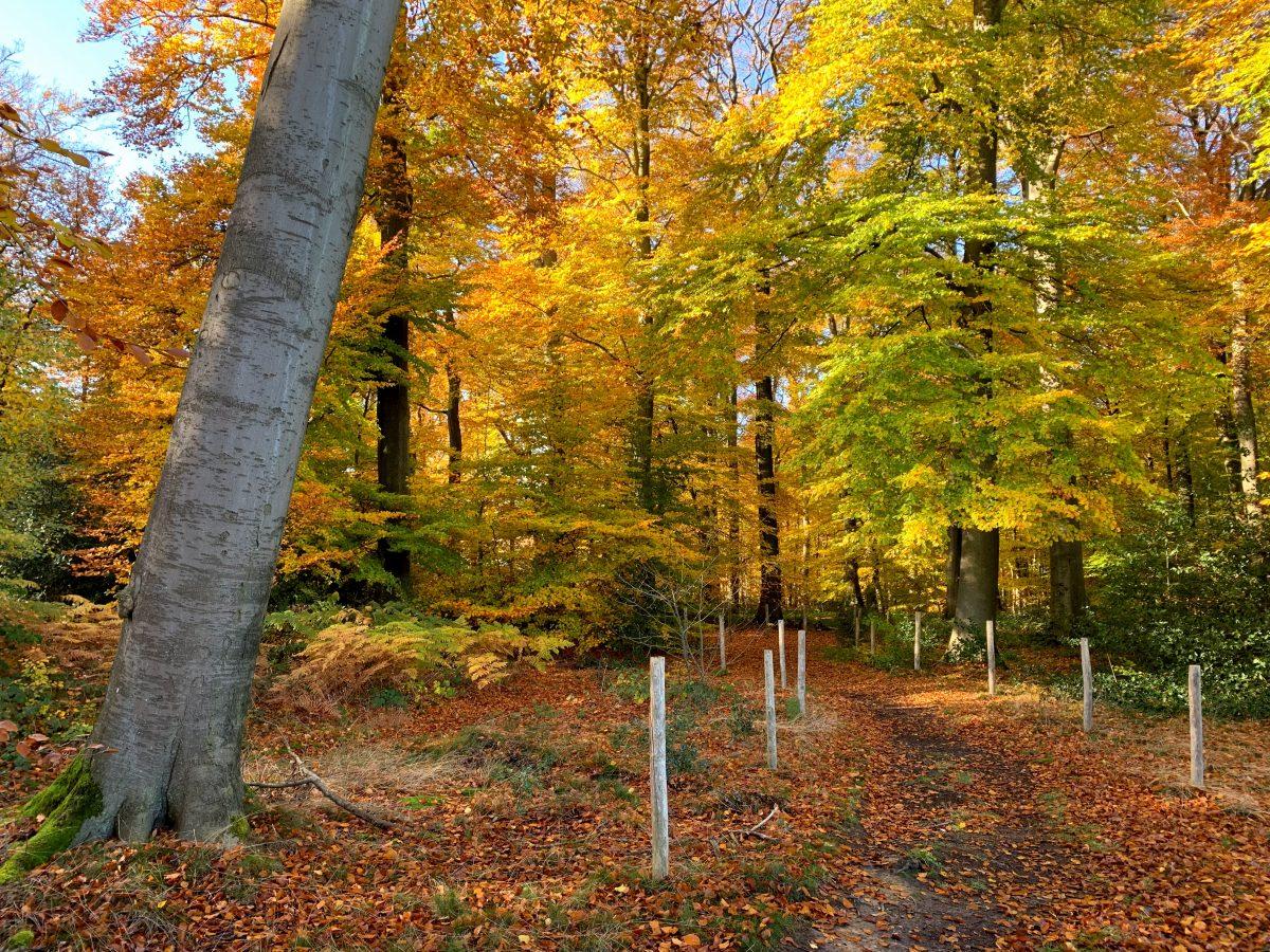 Een beukenbos in de herfst