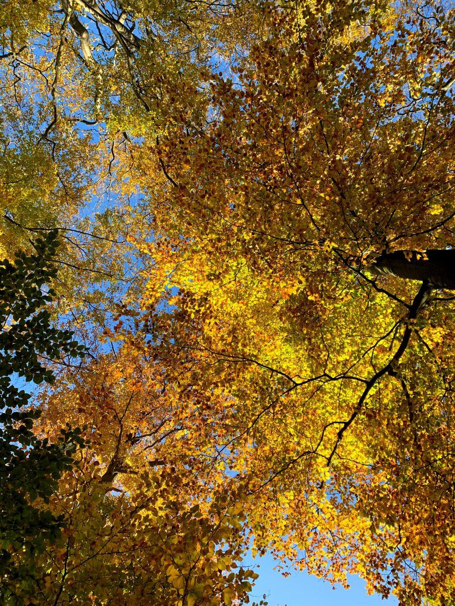 Herfstbladeren in het Veursbos
