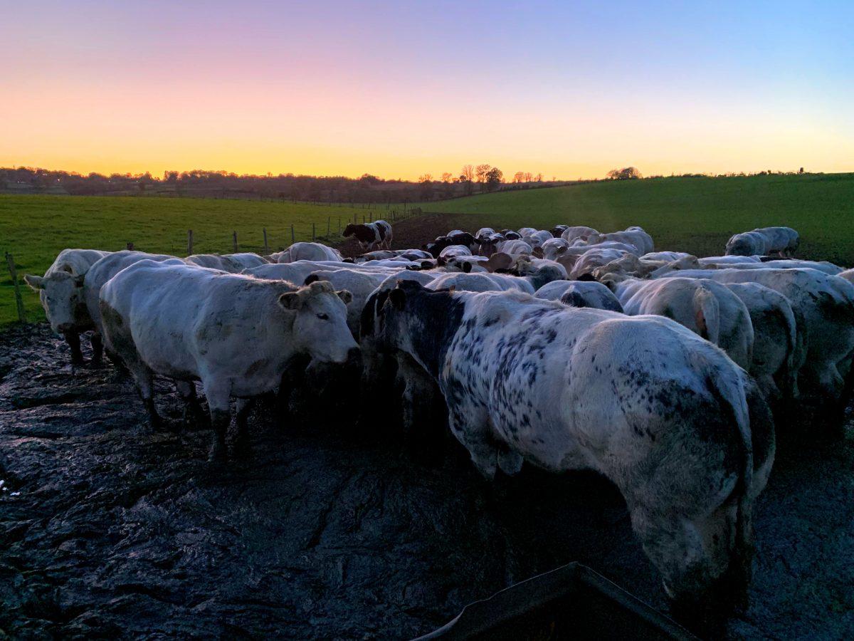 Koeien bij zonondergang