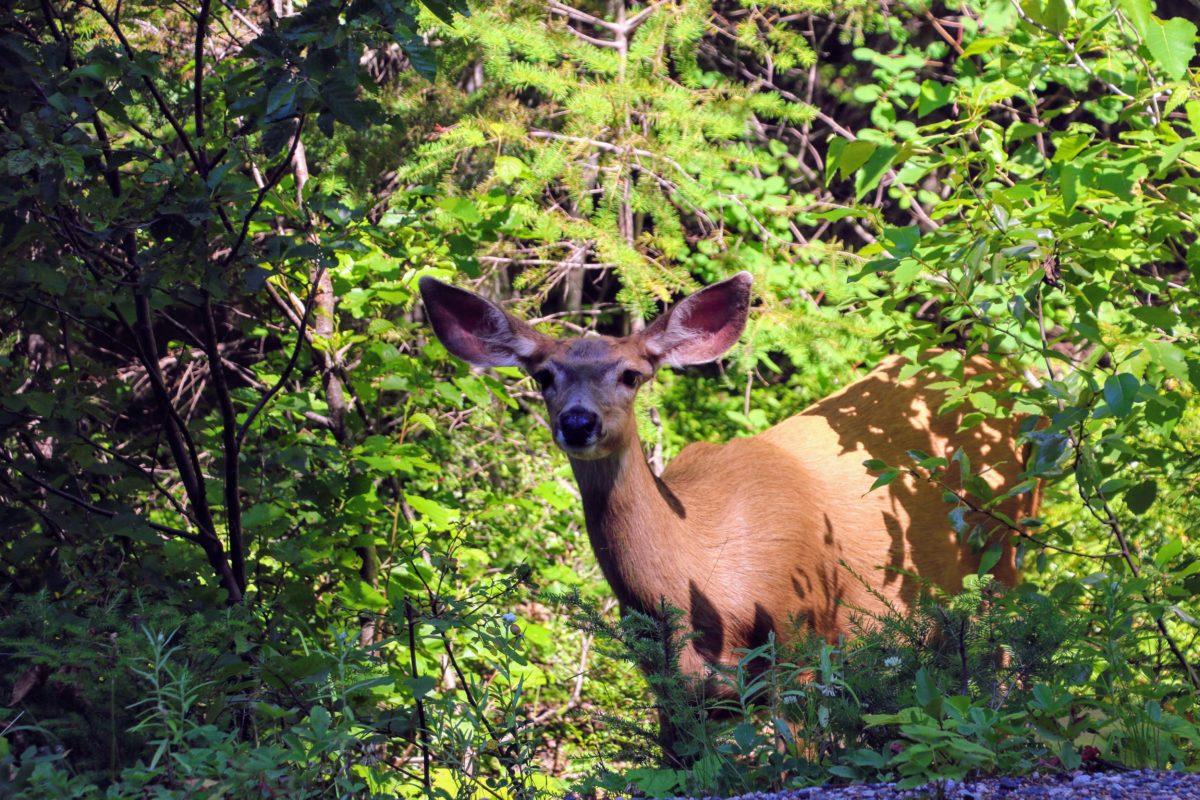 Dier langs de weg in Canada
