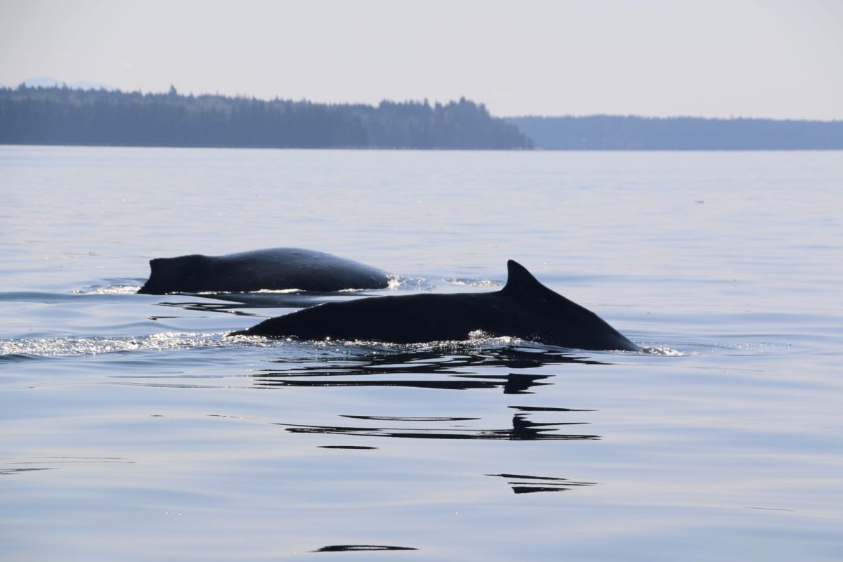 Walvissen spotten in Vancouver Island